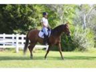 Fantastic Chestnut Andalusian PRE Dressage Mare in Kansas