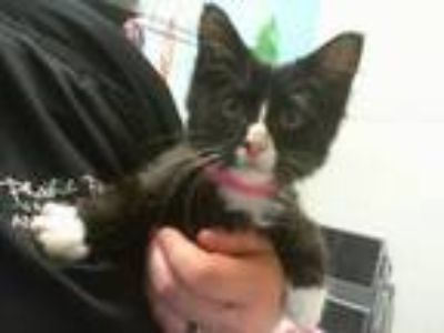 Adopt COURTNEY a Domestic Medium Hair, Domestic Short Hair