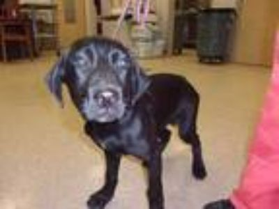 Adopt MAX a Black Shepherd (Unknown Type) / Mixed dog in Arlington