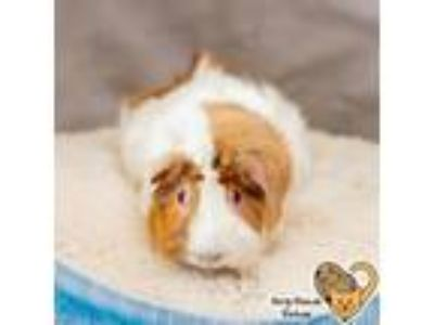 Adopt Kenny a Brown or Chocolate Guinea Pig / Mixed small animal in West Des