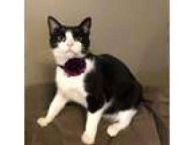 Adopt Lucky a Black & White or Tuxedo Domestic Shorthair (short coat) cat in