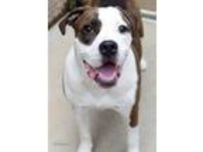 Adopt Chief a White American Pit Bull Terrier / Mixed dog in South Bend