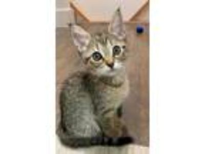 Adopt ROSEMARY a Brown Tabby Domestic Shorthair / Mixed (short coat) cat in