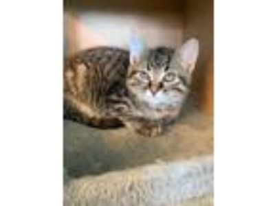 Adopt Teeny a Tiger Striped Maine Coon (short coat) cat in Sugar Grove
