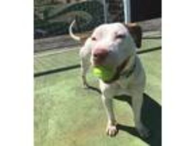 Adopt Lilly a White - with Brown or Chocolate Pit Bull Terrier / Pointer / Mixed