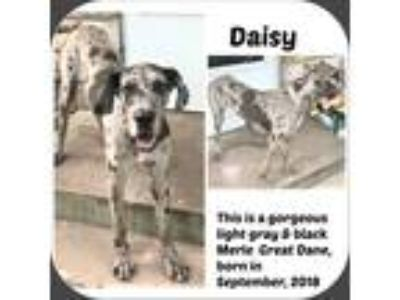 Adopt DAISY a Black - with Gray or Silver Great Dane / Mixed dog in Malvern