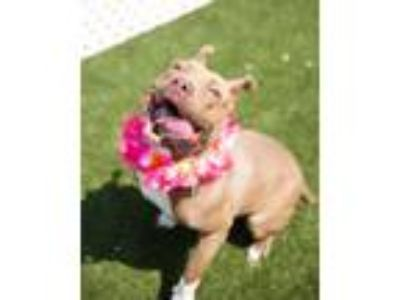 Adopt Moxy a Terrier, Pit Bull Terrier
