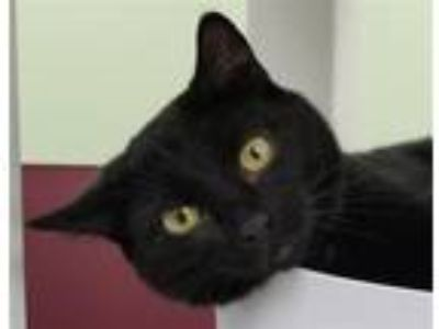Adopt Abby a Domestic Shorthair / Mixed cat in Madison, NJ (25136528)