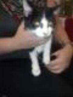 Daryl Tuxedo - Domestic Short Hair Cat