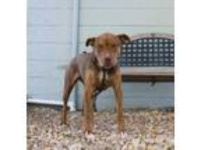 Adopt Flora HW+ a Brown/Chocolate Labrador Retriever / Boxer / Mixed dog in St.
