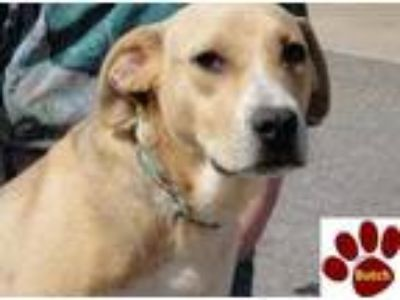 Adopt BUTCH a Tan/Yellow/Fawn Labrador Retriever / Mixed dog in Franklin