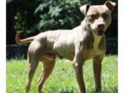 Adopt Loki a Brown/Chocolate American Pit Bull Terrier / Mixed dog in