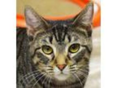 Adopt Mocha a Brown Tabby Domestic Shorthair / Mixed (short coat) cat in