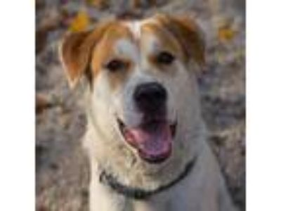Adopt RICK a White St. Bernard / Husky / Mixed dog in Decatur, GA (21947794)