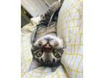 Adopt Purrlock Holmes a Brown Tabby Domestic Mediumhair cat in Siloam Springs