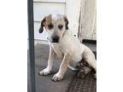 Adopt Chip a Australian Cattle Dog / Blue Heeler, Hound