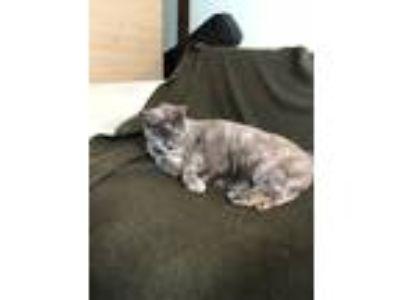 Adopt Etta a Calico or Dilute Calico Calico / Mixed cat in Port Hueneme
