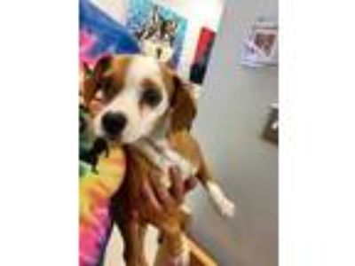 Adopt Veta a Brown/Chocolate Beagle / Jack Russell Terrier / Mixed dog in
