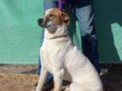 Adopt PJ a Australian Cattle Dog / Blue Heeler, Hound
