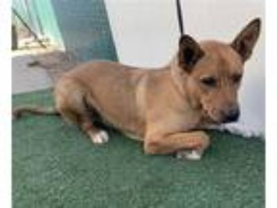 Adopt a Brown/Chocolate - with White German Shepherd Dog / Mixed dog in Visalia