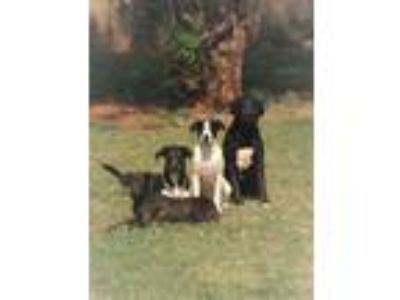 Adopt Sterling, Dusty & Trails a Labrador Retriever, German Shepherd Dog