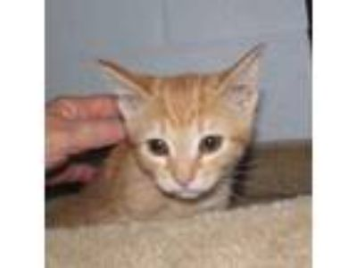 Adopt GINNY a Orange or Red Domestic Shorthair / Domestic Shorthair / Mixed cat