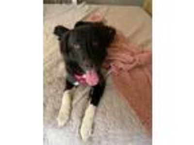 Adopt Blu a Black - with White Great Pyrenees / Mixed dog in Norman