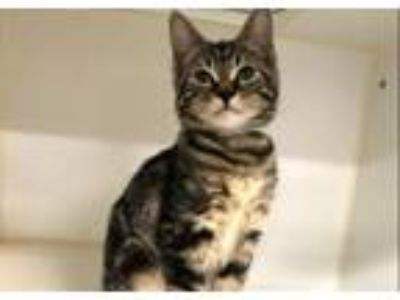 Adopt Mazda a Domestic Short Hair
