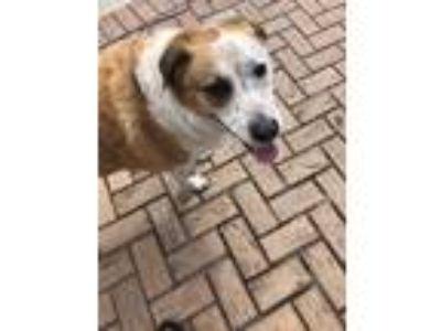 Adopt Shiloh a Tan/Yellow/Fawn - with White Labrador Retriever / Pointer / Mixed