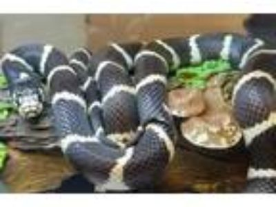 Adopt Kingsley a Snake reptile, amphibian, and/or fish in Burlingame