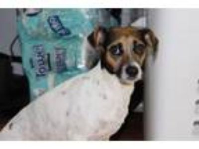 Adopt Mistletoe a Rat Terrier, Mixed Breed