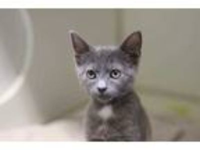 Adopt GANDALF a Gray or Blue Domestic Shorthair / Mixed (short coat) cat in