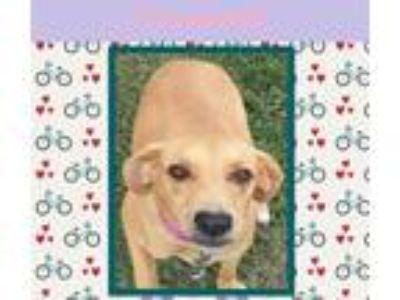 Adopt Savannah a Red/Golden/Orange/Chestnut Beagle / Basset Hound / Mixed dog in