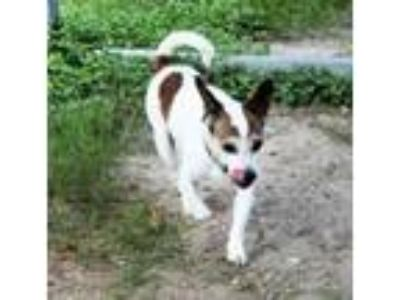 Adopt 37605070 - Available 6/28 a Jack Russell Terrier