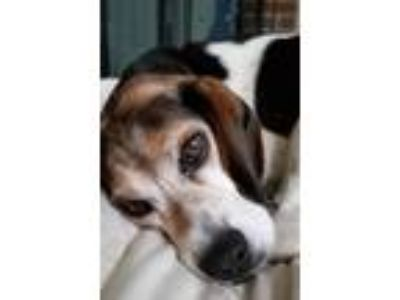 Adopt Buddy a Tricolor (Tan/Brown & Black & White) Beagle / Mixed dog in