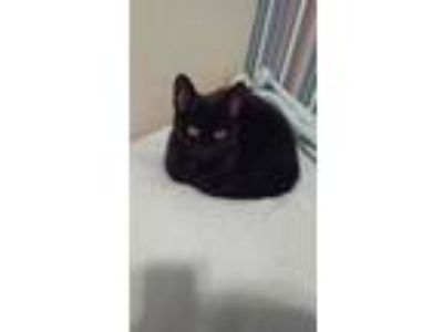Adopt Mermaid Peper a Black (Mostly) Domestic Shorthair / Mixed cat in Ironton