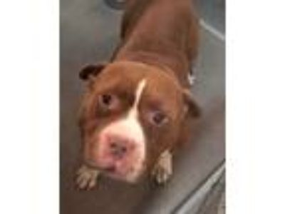 Adopt CHOCO a Brown/Chocolate - with White American Pit Bull Terrier / Mixed dog