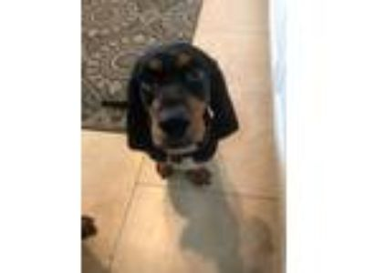 Adopt Bubbles a Black - with Tan, Yellow or Fawn Dachshund / Basset Hound /