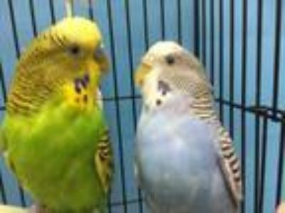 Adopt Chico a Yellow Parakeet - Other / Mixed bird in Coon Rapids, MN (25637967)