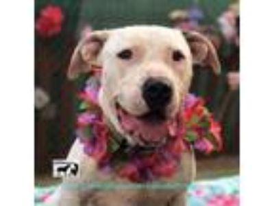 Adopt AMAZING HENRY a Labrador Retriever, American Staffordshire Terrier