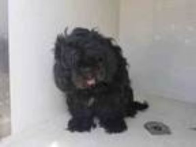 Adopt MIA a Lhasa Apso, Mixed Breed