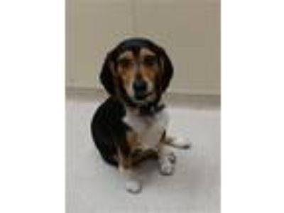 Adopt COPPER a Beagle
