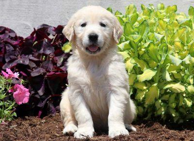 Golden Retriever PUPPY FOR SALE ADN-79213 - English Cream Golden Retriever Puppy