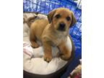 Adopt City Pup Memphis a Tan/Yellow/Fawn Labrador Retriever / Hound (Unknown