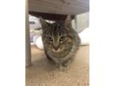 Adopt Copy of Patricia a Domestic Short Hair
