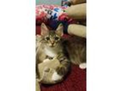 Adopt Fritz a Gray or Blue (Mostly) Domestic Shorthair (short coat) cat in