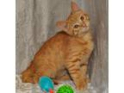Adopt Tyrion a Orange or Red Domestic Shorthair / Mixed (short coat) cat in