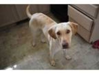 Adopt Oso COMING SOON a Yellow Labrador Retriever