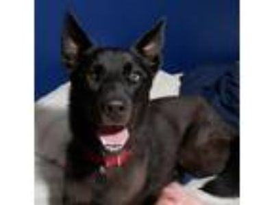 Adopt Catelyn a Black Siberian Husky / Labrador Retriever dog in Carol Stream