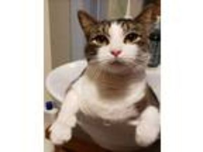 Adopt Phineas a Gray, Blue or Silver Tabby Domestic Shorthair (short coat) cat